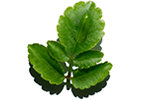 Leaf of life extract is derived from organic plants and helps boost skin's natural hydration process.
