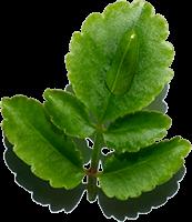 Leaf of life ingredient